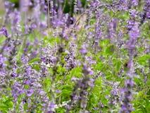 Garden field of lavender flowers stock photos
