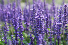 Lavenders Royalty Free Stock Photography