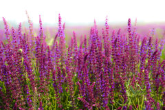 Lavenders Stock Image