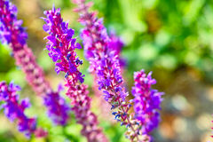Lavenders Royalty Free Stock Image