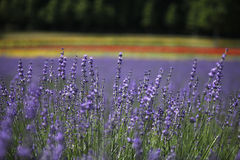 Lavenders are seen in Nakafuano town in Hokkaido, northern Japan Stock Photo