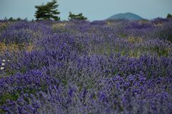 Lavenders in the south of france, provence,sault. Zoom on a Lavendres field in the souht of france,provence,sault Royalty Free Stock Images