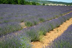 Lavenders in the south of france, provence,sault. Zoom on a Lavendres field in the souht of france,provence,sault Stock Photos