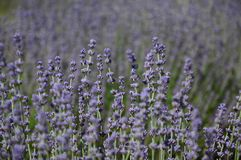 Lavenders in the south of france, provence,sault. Zoom on a Lavendres field in the souht of france,provence,sault Royalty Free Stock Photo
