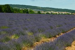 Lavenders in the south of france, provence,sault. Zoom on a Lavendres field in the souht of france,provence,sault Stock Image