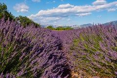 Lavender field in Provence. Lavender fields near Verdon lake in Provence royalty free stock photo