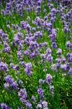 淡紫色/Lavendula 免版税库存照片