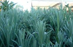Lavendula angustifolia 'Vera' Royalty Free Stock Photography