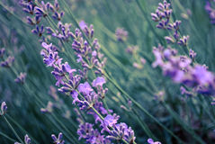 Lavener field. A beautiful purple lavender field in the evening stock photo