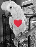 Lavie美冠鹦鹉 免版税库存图片