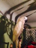 Lavie-Papageien-Kakaduvogel Lizenzfreies Stockbild