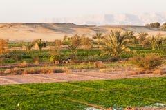Lavorando ai campi all'oasi di Dahla Fotografie Stock