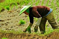 Lavorando al giacimento del riso Immagini Stock Libere da Diritti