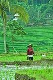 Lavorando al giacimento del riso Fotografia Stock Libera da Diritti