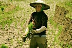 Lavorando al giacimento del riso Immagini Stock