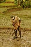 Lavorando al giacimento del riso Fotografie Stock