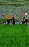 Lavorando al giacimento del riso Fotografie Stock Libere da Diritti