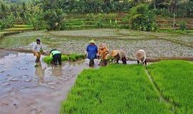 Lavorando al giacimento del riso Fotografia Stock