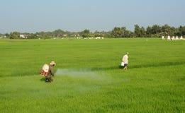Lavorando al giacimento del riso in An Giang, delta del Mekong Fotografie Stock