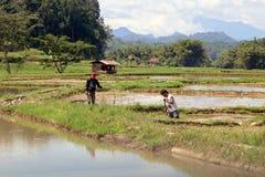 Lavorando nelle risaie Immagine Stock Libera da Diritti