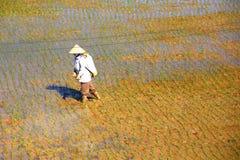 Lavorando nelle risaie Fotografia Stock