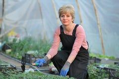 Lavoratore agricolo in una serra con il pomodoro pl Immagine Stock