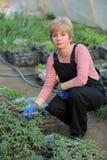 Lavoratore agricolo in una serra con la pianta di pomodori Fotografie Stock Libere da Diritti