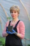 Lavoratore agricolo in una serra con la pianta di pomodori Immagine Stock Libera da Diritti