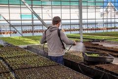 Lavoratore che castra le giovani piantine in serra con i prodotti chimici di protezione dell'impianto o dell'acqua contro i paras Fotografie Stock Libere da Diritti