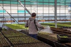 Lavoratore che castra le giovani piantine in serra con i prodotti chimici di protezione dell'impianto o dell'acqua contro i paras Immagini Stock Libere da Diritti