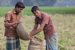 lavoratore 2 che conserva i lotti della patata la loro borsa della iuta nel campo della piantagione della patata in Thakurgong, B Immagine Stock Libera da Diritti