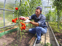 Lavoratore che elabora i cespugli dei pomodori nella serra Fotografie Stock