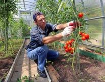 Lavoratore che elabora i cespugli dei pomodori nella serra Immagini Stock