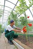 Lavoratore che elabora i cespugli dei pomodori nella serra Fotografia Stock