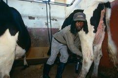 Lavoratore che munge una mucca nel Sudafrica rurale immagini stock libere da diritti