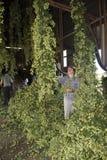 Lavoratore che raccoglie luppolo utilizzato nella fabbricazione della birra Immagini Stock Libere da Diritti