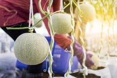 Lavoratore che raccoglie melone nell'azienda agricola del melone Immagini Stock