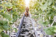 Lavoratore che raccoglie melone nell'azienda agricola del melone della serra Fotografia Stock