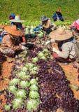 Lavoratore che raccoglie verdura organica nella piantagione di agricoltura Immagini Stock