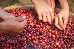 Lavoratore che seleziona i semi del caffè Immagine Stock