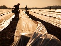 Lavoratore a contratto sul giacimento dell'asparago fotografia stock