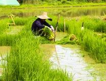 Lavoratore dell'uomo all'erba di riso di verde del lavoro dell'azienda agricola Immagini Stock