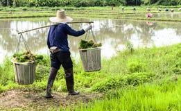Lavoratore dell'uomo sul lavoro dell'azienda agricola che porta l'erba di riso verde Fotografia Stock Libera da Diritti