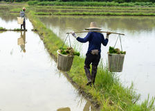 Lavoratore dell'uomo sul lavoro dell'azienda agricola che porta l'erba di riso verde Immagini Stock Libere da Diritti
