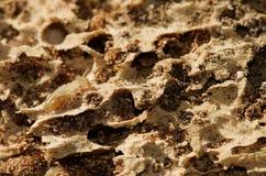 Lavoratore della termite sopra i tunnel di legno marci Immagini Stock