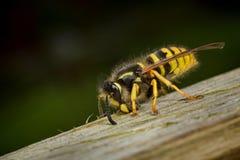Lavoratore della vespa che raccoglie legno Immagini Stock