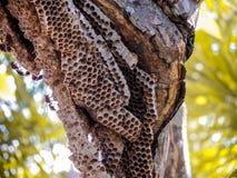 lavoratore della vespa e vespa dell'alveare sull'albero di plumeria in giardino Fotografie Stock Libere da Diritti