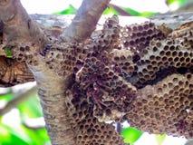 lavoratore della vespa e vespa dell'alveare sull'albero in giardino Immagine Stock