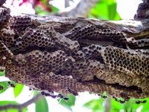 lavoratore della vespa e vespa dell'alveare sull'albero in giardino Fotografie Stock Libere da Diritti