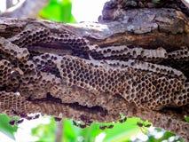 lavoratore della vespa e vespa dell'alveare sull'albero verde di plumeria in giardino Fotografia Stock